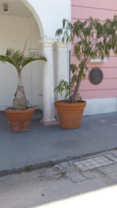 My tour guide told me that Bahaman natives have perfected the art of growing trees in ceramic pots. Apparently this is a skill passed down between generations.